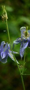 Caldarusa_Aquilegia_vulgaris