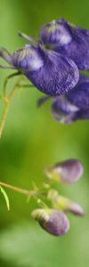 Omag_Aconitum_moldavicum