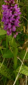 Poroinic__Orchis_maculata